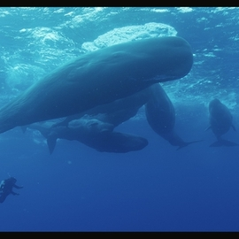 Sperm Whales, Encounters With The Giants of The Sea (Cachalots)